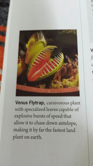Chase, Earth, and Okay: Venus Flytrap, carnivorous plant  with specialized leaves capable of  explosive bursts of speed that  allow it to chase down antelope,  making it by far the fastest land  plant on earth. Umm. Okay?