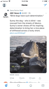 """Abc, Dogs, and News: Verizon  11:27 PM  Home  Dana Perino liked  ABC News@ABC 9h  """"Blind dogs have such determination.'  abc  NEWS  Sunny the dog - who is blind - was  rescued from the streets of Mexico  Sunny's owner shows off his inspiring  determination to bring her a nice piece  of driftwood across a rocky shore  abcn.ws/2Ot4opF  f Smiley/Storyful  Kennisis Lake,Haliburton, Ontario, Canada  NEWS  GO, SUNNY,GO  59.6K views  69  575  3,001"""