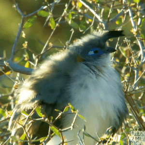 Verreaux's Couas reside in dry euphorbia scrubland within the spiny forest zone on the shores of a single salt lake in southwestern Madagascar. They feed on invertebrates and Cassia fruit. This V. coua appears quite plump (gif) because it has just ruffled its feathers to better tolerate the cold.: Verreaux's Couas reside in dry euphorbia scrubland within the spiny forest zone on the shores of a single salt lake in southwestern Madagascar. They feed on invertebrates and Cassia fruit. This V. coua appears quite plump (gif) because it has just ruffled its feathers to better tolerate the cold.