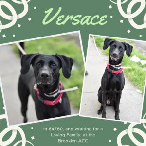 "Being Alone, Cats, and Children: Versace  Id 64760, and Waiting for a  Loving Family, at the  Brooklyn ACC TO BE KILLED – 6/11/2019  Her parents became homeless.  And as a consequence, so did this perfect family pet who has no idea why, after 4 years with her family, she is in a scary shelter and they are nowhere to be found.  She was wagging her tail, she was friendly and calm and social when they entered the shelter together.  But of course, that is what she always was….so happy to meet new people, jumping up to give them hugs.  Great with adults, with children, with strangers and with other dogs.  A sterling resume, a wonderful countenance, the GLOWING notes of her owners who were certain their perfect friend and companion would find another family to love her.  After all, she was a star!   But what they didn't see, what they would never see, was that  they left her, abandoned her, walked away, that was when she realized that she could not follow, and that she was hopelessly alone. Frightend and confused, she barked and tried to escape, she desperately cried out for them to come back.  But they never did. Versace did nothing wrong, and she did everything right, and the most heartbreaking thing about this whole situation is that she is so deserving of love, of happiness, and of a home.  Will you take in this wonderful girl?  See her for the great dog that she truly is!  Message our page or email us at MustLoveDogsNYC@gmail.com for assistance fostering or adopting this wonderful girl?   VERSACE, ID# 64760, 4 Yrs. Old, 68 lbs, Unaltered Female Brooklyn ACC, Large Mixed Breed, Black Owner Surrender Reason:  Owner homeless Shelter Assessment Rating:    New Hope Rescue Only Behavior Condition:    4. Orange  AT RISK NOTE:  Although she has shown some improvement, Versace remains highly anxious in the care center and is hesitant to interact at times. She has also been observed to avoid contact with handlers and exhibits resource guarding behavior. We feel she would be best set up to succeed if placed with an experienced rescue partner who can allow her to acclimate and decompress at her own pace. Versace was diagnosed with Dental disease, Mass and Otitis externa.  INTAKE NOTE – DATE OF INTAKE, 6/3/2019:  Upon intake Versace was calm and relax at first but when owner left she was barking and trying to escape. She was very treat motivated but pulls hard on leash.  OWNER SURRENDER NOTES – BASIC INFORMATION:  Versace is a 4 year old unaltered female mmb. She was adopted from a pet store. She is healthy at this time. owner surrender due to personal issues.  Versace lived with 2 adults.  She is friendly and outgoing likes to jump on everyone.  Versace plays with children of all ages at the park and she is respectful.  Versace is usually relaxed and playful towards dogs but will bark if fearful.  Versace will bark and chase cats owner stated outdoors.   Versace is friendly if someone touches her food bowl while eating but will growl if someone takes a toy or treat away. She barks if someone take an object away.  Versace has never bitten or scratched anyone owner stated.  She is housetrained and has a very high energy level.   Other Notes:: Versace likes taking baths and being brushed. she doesn't bark if someone approaches the owner or if someone comes by the door. Owner describes her as affectionate, playful, excitable, independent and anxious.   Medical Notes: When Versace was a puppy she jumped off a couch and fracture he leg but now she is better.  For a New Family to Know: Versace is trained to use the bathroom outdoors on grass. She pulls very hard on leash. She know cues sit and down. She likes to sleep in the living room and eat dry food called beneful during the day. She likes to play with balls, squeaky and frisbee.   SHELTER ASSESSMENT SUMMARIES:  Leash Walking  Strength and pulling: Moderate-Hard pulling  Reactivity to humans: None  Reactivity to dogs: None  Leash walking comments:   Sociability  Loose in room (15-20 seconds): Neutral body, tail high, readily accepts treats, jumps up soliciting attention, open mouth, some panting, vocalizes, accepts contact, approaches handlers, engages in play with handler, play bows  Call over: Approaches with coaxing  Sociability comments:   Handling Soft handling: Neutral-tense body, moves away from handler, head flipping, barks toward assistant  Exuberant handling: Did not conduct  Handling comments:   Arousal  Jog: Follows handler and engages in play, soft and loose; Jumps up and mouths toward leash after third pass, recovers immediately on her own Arousal comments:   Knock  Knock Comments: Jumps up and mouths toward leash, recovers, barks toward door; No response to knock; Approaches assistant, jumps up soliciting attention   Toy  Toy comments: Minimal interest   PLAYGROUP NOTES – DOG TO DOG SUMMARIES: According to Versace's previous owner, she is relaxed and playful when interacting with other dogs, but can sometimes bark if fearful.   6/6: When off leash at the Care Center, Versace is introduced to a novel male dog. She greets the male with a slightly tense posture but handles her discomfort by walking away to explore the pens. She exchanges a face to face greet with the male and tenses again but walks away to continue wandering.   6/7: Versace initially ignores the greeter but after several minutes she approaches him with a soft posture. She solicits with a sloppy playbow and attempts to engage in chase play. She attempts this several times before giving up and exploring the yard.   6/9: Versace engages in vocal, conflicted chase play.   Summary (1):: Versace understands the cue for ""sit.""   INTAKE BEHAVIOR - Date of intake:: 6/3/2019 Summary:: Initially relaxed and calm; Barked, attempted to flee, readily accepted treats  MEDICAL BEHAVIOR - Date of initial:: 6/4/2019 Summary:: Tense, very nervous; Muzzled as a precaution, allowed all handling  ENERGY LEVEL:: Versace has been observed to exhibit a high level of energy during her interactions in the care center. We cannot be certain of her behavior in a home environment, but we recommend that she be provided daily mental and physical stimulation as an outlet for her energy.  IN SHELTER OBSERVATIONS:: **Additional Behavior Upon Intake (6/3/19)** Versace was observed to hard bark and attempted to flee from handlers. When placed in her kennel and introduced to toys or treats, Versace was observed to growl and bark toward staff members who approached.   BEHAVIOR DETERMINATION:: New Hope Only Behavior Asilomar: TM - Treatable-Manageable  Recommendations:: No children (under 13),Place with a New Hope partner  Recommendations comments:: No children (under 13): Due to Versace's overall level of anxiety and handling sensitivity, as well as her observed resource guarding, we feel she would be best set up to succeed in an adult only home at this time. Place with a New Hope partner: Although she has shown some improvement, Versace remains highly anxious in the care center and is hesitant to interact at times. She has also been observed to avoid contact with handlers and exhibits resource guarding behavior. We feel she would be best set up to succeed if placed with an experienced rescue partner who can allow her to acclimate and decompress at her own pace. Force-free, reward based training only is advised when introducing or exposing Versace to new and unfamiliar situations, as well as utilizing guidance from a qualified, professional trainer/behaviorist.   Potential challenges: : Resource guarding,Handling/touch sensitivity,Anxiety  Potential challenges comments:: Resource guarding: Versace was observed to growl and bark toward staff members who approached her when she was engaged with toys or treats in her kennel. Please refer to the handout for Resource guarding. Handling/touch sensitivity: Versace displayed handling sensitivity during her interactions in the care center. When attempting the handling portion of her assessment, Versace was observed to head flip and move away from the handler, then hard bark toward another staff member in the room. When approached too quickly, Versace has been observed to quickly avoid contact from handlers. Please refer to the handout on Handling/touch sensitivity. Anxiety: Versace exhibits a very high level of anxiety during her interactions in the care center. She has been observed to pant, bark and remain tense throughout her assessment. She was easily distracted by outside noises and avoided interacting with handlers. Please refer to the handout for Anxiety.   MEDICAL EXAM NOTES  4/06/2019 DVM Intake Estimated age: Aprox 4 years Microchip noted on Intake? Yes Microchip Number (If Applicable):900118000329856 History: Owner surrender, was doing well at home. Subjective: BARH, no coughing/sneezing/vomiting/diarrhea Observed behavior: Very nervous and tense, lots of sudden movements, was muzzled for exam but allowed all medical handling. Evidence of cruelty seen: No Evidence of trauma seen: No Objective: P: WNL R: WNL BCS: WNL OP: Mucous membranes pink and moist. CRT <2. Stage 2 dental disease, moderate dental plaque/tartar, mild gingival inflammation. EENT: Eyes, and nares clear bilaterally, no discharge noted. AS WNL, AD moderate dark ceruminous debris, errythematous ear canal. PLN: Small/soft/symmetrical/nonpainful CV: No murmurs or arrhythmias, pulses strong and synchronous. RESP: Eupneic, no crackles/wheezes GI: Soft, nonpainful, no palpable masses. UG: FI, no mammary gland tumors noted, no discharge INT: Good hair coat, no areas of alopecia or pruritus, no ectoparasites noted, small firm aprox 1 inch mass located at the level of the carpus MS: Ambulatory x4, no pain on palpation of epaxials NEURO: Mentation appropriate, cranial nerves intact, no deficits noted. Assessment: Stage 2 dental disease Moderate otitis externa AD Mass Prognosis: Good Plan: Enrofloxacin otipack AD Spay Recommend FNA of mass +/- excisional biopsy Surgery: Ok for sx   *** TO FOSTER OR ADOPT ***  VERSACE IS RESCUE ONLY. You must fill out applications with New Hope Rescues to foster or adopt her.  She cannot be reserved online at the ACC ARL, nor can she be direct adopted at the shelter. PLEASE HURRY AND MESSAGE OUR PAGE FOR ASSISTANCE!    HOW TO RESERVE A ""TO BE KILLED"" DOG ONLINE (only for those who can get to the shelter IN PERSON to complete the adoption process, and only for the dogs on the list NOT marked New Hope Rescue Only). Follow our Step by Step directions below!   *PLEASE NOTE – YOU MUST USE A PC OR TABLET – PHONE RESERVES WILL NOT WORK! **   STEP 1: CLICK ON THIS RESERVE LINK: https://newhope.shelterbuddy.com/Animal/List  Step 2: Go to the red menu button on the top right corner, click register and fill in your info.   Step 3: Go to your email and verify account  \ Step 4: Go back to the website, click the menu button and view available dogs   Step 5: Scroll to the animal you are interested and click reserve   STEP 6 ( MOST IMPORTANT STEP ): GO TO THE MENU AGAIN AND VIEW YOUR CART. THE ANIMAL SHOULD NOW BE IN YOUR CART!  Step 7: Fill in your credit card info and complete transaction   HOW TO FOSTER OR ADOPT IF YOU *CANNOT* GET TO THE SHELTER IN PERSON, OR IF THE DOG IS NEW HOPE RESCUE ONLY!   You must live within 3 – 4 hours of NY, NJ, PA, CT, RI, DE, MD, MA, NH, VT, ME or Norther VA.   Please PM our page for assistance. You will need to fill out applications with a New Hope Rescue Partner to foster or adopt a dog on the To Be Killed list, including those labelled Rescue Only. Hurry please, time is short, and the Rescues need time to process the applications.  Shelter contact information Phone number (212) 788-4000  Email adoption@nycacc.org  Shelter Addresses: Brooklyn Shelter: 2336 Linden Boulevard Brooklyn, NY 11208 Manhattan Shelter: 326 East 110 St. New York, NY 10029 Staten Island Shelter: 3139 Veterans Road West Staten Island, NY 10309    *** NEW NYC ACC RATING SYSTEM ***  Level 1 Dogs with Level 1 determinations are suitable for the majority of homes. These dogs are not displaying concerning behaviors in shelter, and the owner surrender profile (where available) is positive.    Level 2  Dogs with Level 2 determinations will be suitable for adopters with some previous dog experience. They will have displayed behavior in the shelter (or have owner reported behavior) that requires some training, or is simply not suitable for an adopter with minimal experience.    Level 3 Dogs with Level 3 determinations will need to go to homes with experienced adopters, and the ACC strongly suggest that the adopter have prior experience with the challenges described and/or an understanding of the challenge and how to manage it safely in a home environment. In many cases, a trainer will be needed to manage and work on the behaviors safely in a home environment.    New Hope Rescue Only  Dog is not publicly adoptable.  Prospective fosters or adopters need to fill out applications with New Hope Partner Rescues to save this dog."