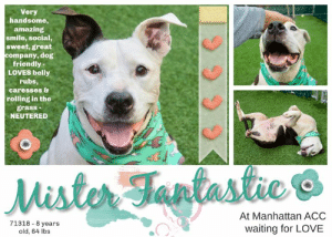 INTAKE DATE: 08-03-19  ** LEVEL 1 ** A volunteer writes: Mister Fantastic has been so well named! He is a wonderful senior who might have some ailments expected to come with age but has the mind and the spirit of a youngster! Look at his smile! I want to laugh just like him! Mister Fantastic loves to be with people, to be free, go for a walk , keep a clean den( he seems so house trained) and roll in the turf for a good massage and belly rubs. He is such a sweet guy who enjoys treats but mostly caresses and attention. He is obedient, a good listener and sitter and is respectful of small critters and other dogs on the walk. I just love to spend time with Mister Fantastic. He is therapy for us, humans and sure to make our days lighter, sweeter and happier. Seniors can be wonderful pets for those of us who like and know how to care for them. Come and meet Mister Fantastic at the Manhattan Care Center!  MISTER FANTASTIC@MANHATTAN ACC Mister Fantastic ID# 71318 Sex: Male Age: 8 years old Length: Short Is Vaccinated: Yes Coat Type: Smooth Primary Color: Black Secondary Color: White Weight: 64.2 lbs. Spayed / Neutered: Yes My health has been checked My vaccinations are up to date My worming is up to date I have been microchipped Please take note of the Animal ID before contacting shelter    Volunteer Evelyne Cumps writes: He is loved by everyone at the MACC. Mister Fantastic, High Mister F...He is said to be 8 year old, a bit overwt, a stray found tethered in a park, arthritic and not able to go for long walks but so willing, such a spirit and such a happiness to be with people. Fine with dogs too. He loves to roll in the grass, belly rubs and caresses, treats too. He is so easy going and has one of the best smiles!!! I always make sure he has 2 walks when i am at the CC....Level1  MY MOVIES: Mister Fantastic loves his belly rubs! https://youtu.be/c893KBZy_7M  Luna, Mister Fantastic, Sox and Thor in Playgroup https://youtu.be/X2-DqzOi4gs  Maddie and Mister Fantastic in Play