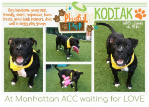 INTAKE DATE: 07-12-2019  HANDSOME AND PLAYFUL KODIAK IS LOOKING FOR HIS FOREVER HOME. A volunteer writes: Kodiak bears are massive and a bit scary beasts. Our Kodiak is a cool and happy go lucky pooch who loves to be with his peers and us, staff and volunteers, here at the care center. He enjoys playing with toys, running and jumping through open pens and even sometimes, retrieving. I love the naughty look in his eyes when he catches a ball! Treats are always most welcome and Kodiak will sit nicely for them. He is a lively young man, excited to live his day in the most positive and optimistic ways possible. Kodiak has indeed a gentle, playful, sociable and sunny personality. Come and meet him in person at the Manhattan Care Center! Kodiak is a well rounded pooch sure to make a new owner glad to have picked him as a forever best friend!  KODIAK@MANHATTAN ACC Kodiak ID# 68893  Sex: Male Age: 2 years old Length: Short Is Vaccinated: Yes Coat Type: Smooth Primary Color: Black Secondary Color: White Weight: 55.375 lbs Intake Date: 07-12-2019 My health has been checked My vaccinations are up to date My worming is up to date Please take note of the Animal ID before contacting shelter    *** TO FOSTER OR ADOPT ***   If you would like to adopt a NYC ACC dog, and can get to the shelter in person to complete the adoption process, you can contact the shelter directly. We have provided the Brooklyn, Staten Island and Manhattan information below. Adoption hours at these facilities is Noon – 8:00 p.m. (6:30 on weekends)  If you CANNOT get to the shelter in person and you want to FOSTER OR ADOPT a NYC ACC Dog, you can PRIVATE MESSAGE our Must Love Dogs page for assistance. PLEASE NOTE: You MUST live in NY, NJ, PA, CT, RI, DE, MD, MA, NH, VT, ME or Northern VA. You will need to fill out applications with a New Hope Rescue Partner to foster or adopt a NYC ACC dog. Transport is available if you live within the prescribed range of states.  Shelter contact information: Phone number (212