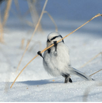 very strong birb doing pull ups: very strong birb doing pull ups