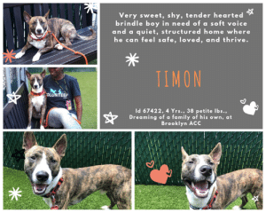 "Apparently, Beautiful, and Children: Very sweet, shy, tender hearted  brindle boy in need of a soft voice  and a quiet, structured home where  he can feel safe, loved, and thrive.  TIMON  OLUNTEER  Id 67422, 4 Yrs.,38 petite Ibs.,  Dreaming of a family of his own, at  Brooklyn ACC INTAKE DATE – 6/28/2019  Timon is a tiny little guy with big bat ears and a gentle heart, who craves a loving & quiet home and a family to love.  He was found in the streets and brought to the shelter by police, a teeny, tiny petite little man of only 38 lbs who was frightened after his experience and only wanted to feel safe and loved.  But the shelter is no place for sensitive souls with tender hearts, and a bravery deficit, so TIMON didn't find the quiet, calm, ""safe space"" he had hoped for.  He's so incredibly adorable with his big bat ears, his white socks and his gorgeous tiger brindle coat.  Add to that his big smile, or the way he sits so straight and tall, trying to project a courage he doesn't feel as he tries to negotiate the Brooklyn Center.   The volunteers do their best to give him comfort, always taking time to talk to him in a soft voice,  snuggling with him on a   bench, softly petting him and telling him not to worry – it will be ok.  But it won't be ok if no one picks this beautiful sweet boy.  He needs an experienced foster or adopter who can give him the quiet space he will need to find his rudder.  Can you help this little man out?  Message our page or email us at MustLoveDogsNYC@gmail.com for assistance fostering or adopting him now.    TIMON, ID# 67422, 4 yrs old, 38.6 lbs, Unaltered Male Manhattan ACC, Medium Mixed Breed, Brown Brindle / White    Surrender Reason:  Stray, brought by police Shelter Assessment Rating: LEVEL 3 Medical Behavior Rating:   BEHAVIOR NOTES  Means of surrender (length of time in previous home): Stray Behavior toward strangers: A woman, living with dog, said he growls at her and snaps  SHELTER ASSESSMENT SUMMARIES -  Date of assessment: 30-Jun-2019   Leash Walking Strength and pulling: Moderate Reactivity to humans: None  Reactivity to dogs: None Leash walking comments: None  Sociability Loose in room (15-20 seconds): Fearful – avoids; tense; cowers Call over: No approach – nervous, tense Sociability comments: Body tense  Handling  Soft handling: Fearful Exuberant handling: Fearful  Handling comments: Body tense, tail down, moves away when legs are touched  Arousal Jog: Follows (body low) Arousal comments: None  Knock: No response Knock Comments: None  Toy: No response Toy comments: None  PLAYGROUP NOTES - DOG TO DOG SUMMARIES: 7/1: When introduced off leash to the female greeter dog, Timon approaches, sniffs, and continues to follow while sniffing. He solicits play at times, but is more intent on following and sniffing.  INTAKE BEHAVIOR: Date of intake: 28-Jun-2019 Summary: scared but warmed up  MEDICAL BEHAVIOR: Date of initial: 28-Jun-2019 Summary: trembling, tense, fearful, allowed handling  ENERGY LEVEL: We have no history on Timon so we cannot be certain of his behavior in a home environment. At the care center, he displays a medium level of activity.  BEHAVIOR DETERMINATION: Level 3 Behavior Asilomar: TM - Treatable-Manageable  Recommendations:  No children (under 13) Recommendations comments:  No children: Due to how uncomfortable Timon is currently with touch and novel stimuli, and that he was reported to growl and snap with the person he was staying with, we feel that an adult-only home would be most beneficial at this time.  Potential challenges:  Fearful/potential for defensive aggression. Potential challenges comments:  Fearful/potential for defensive aggression: Timon was reported to growl and snap by the person he was staying with. At the care center, he has been very fearful. Please see handout on Fearful/potential for defensive aggression.  MEDICAL EXAM NOTES   28-Jun-2019 DVM Intake Exam.  Estimated age: 3-5y.  Microchip noted on Intake? No.  History : stray brought by police,  Subjective: BAR, Observed Behavior - trembling and tense, allowed all handling, but very fearful.  Evidence of Cruelty seen – no.  Evidence of Trauma seen – no.  Objective:  T = , P =wnl, R =wnl, BCS 4/9, EENT: Eyes clear, ears clean, no nasal or ocular discharge noted.  Oral Exam: unable to examine due to muzzle.  PLN: No enlargements noted.  H/L: NSR, NMA, Lungs clear, eupnic.  ABD: Non painful, no masses palpated.  U/G: male intact 2 testes palpable in scrotum.  MSI: Ambulatory x 4, skin free of parasites, no masses noted, healthy hair coat.  CNS: Mentation appropriate - no signs of neurologic abnormalities.  Rectal: external normal.  Assessment:  apparently healthy.  Prognosis:  good.  Plan:  neuter and all intake tasks.  SURGERY:  Okay for surgery    *** TO FOSTER OR ADOPT ***   If you would like to adopt a NYC ACC dog, and can get to the shelter in person to complete the adoption process, you can contact the shelter directly. We have provided the Brooklyn, Staten Island and Manhattan information below. Adoption hours at these facilities is Noon – 8:00 p.m. (6:30 on weekends)  If you CANNOT get to the shelter in person and you want to FOSTER OR ADOPT a NYC ACC Dog, you can PRIVATE MESSAGE our Must Love Dogs page for assistance. PLEASE NOTE: You MUST live in NY, NJ, PA, CT, RI, DE, MD, MA, NH, VT, ME or Northern VA. You will need to fill out applications with a New Hope Rescue Partner to foster or adopt a NYC ACC dog. Transport is available if you live within the prescribed range of states.  Shelter contact information: Phone number (212) 788-4000 Email adopt@nycacc.org  Shelter Addresses: Brooklyn Shelter: 2336 Linden Boulevard Brooklyn, NY 11208 Manhattan Shelter: 326 East 110 St. New York, NY 10029 Staten Island Shelter: 3139 Veterans Road West Staten Island, NY 10309  *** NEW NYC ACC RATING SYSTEM ***  Level 1 Dogs with Level 1 determinations are suitable for the majority of homes. These dogs are not displaying concerning behaviors in shelter, and the owner surrender profile (where available) is positive.   Level 2  Dogs with Level 2 determinations will be suitable for adopters with some previous dog experience. They will have displayed behavior in the shelter (or have owner reported behavior) that requires some training, or is simply not suitable for an adopter with minimal experience.   Level 3 Dogs with Level 3 determinations will need to go to homes with experienced adopters, and the ACC strongly suggest that the adopter have prior experience with the challenges described and/or an understanding of the challenge and how to manage it safely in a home environment. In many cases, a trainer will be needed to manage and work on the behaviors safely in a home environment."