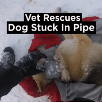 So lucky these lads found this injured pooch.: Vet Rescues  Dog Stuck In Pipe So lucky these lads found this injured pooch.