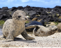 Cookies, Fresh, and Tumblr: vet15:  laurajmoss: Fresh out of the water, newborn sea lion pups roll in sand to protect themselves from the blazing sun in San Cristobal, Galapagos Islands. Look at the little sea sugar cookies!