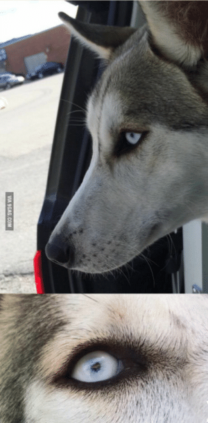 9gag, Husky, and Siberian Husky: VIA 9GAG.COM So my 8 month old Siberian husky has eyes that are turning more and more white as time goes by
