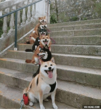 9gag, Memes, and Puppies: VIA 9GAG.COM Staircase of puppy smiles Follow @9gag @9gagmobile 9gag Shibainu Doge Dogs