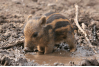 ~Is this not the cutest pig?~: VIA 9GAG.COM ~Is this not the cutest pig?~