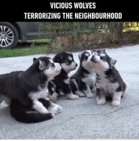 """Memes, Vicious, and Wolves: VICIOUS WOLVES  TERRORIZING THE NEIGHBOURHOOD """"Awooo awoo~"""""""
