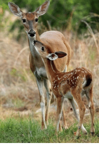 Dancing, Deer, and Memes: VICTORY!!! No more inhumane deer culling in River Crossing, Spring Branch, TX after 10 long years of unwarranted slaughter! Meow was part of the ballot counting process and hasn't stopped dancing since! Great work by educated, nature oriented reasonable people who joined together to end this evil. There is hope for mankind and the ecosystem - ALWAYS be a voice! #EndDeerCulling #DoSomething #StopTPP #EndAnimalViolence #YouCan #Killingisnevertheanswer