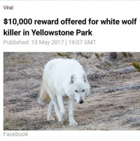 """Facebook, Memes, and Animal: Viral  $10,000 reward offered for white wolf  killer in Yellowstone Park  Published: 13 May 2017 19:07 GMT  Facebook Two separate $5,000 rewards have been offered for information following the illegal shooting of a rare white wolf in Yellowstone National Park. The 'Queen of Hayden Valley' white wolf was one of the most well-known wolves in the National Park and her illegal killing has sparked outrage from advocacy groups and Yellowstone visitors alike. Hikers found the wolf, one of only three white wolves in the National Park, mortally wounded on April 11. Park staff were forced to euthanize the animal because her injuries were so severe. Recently released necropsy results showed the wolf suffered a gunshot wound, the National Park Service has revealed. The wolf was the alpha female of the 'Canyon Pack,' the most photographed pack in Yellowstone. She was 12 years old, about twice the age of other wolves in the park. She had been with the same mate for more than nine years and had produced at least 20 pups. The Park service said she was one of the most recognizable wolves in the park and was highly sought after by visitors to view and photograph. Many people shared memories of encounters with the wolf in a Facebook post announcing that she had been shot. """"Due to the serious nature of this incident, a reward of up to $5,000 is offered for information leading to the arrest and conviction of the individual(s) responsible for this criminal act,"""" said Yellowstone National Park Superintendent Dan Wenk. A wolf advocacy organization called Wolves of the Rockies added another $5,000 to anyone who provides information that leads to the successful conviction of the shooter."""