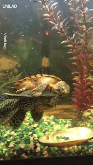 "Dank, Fish, and Turtle: Viral-leg . ""Our new turtle keeps on trying to ride one of our fish..."" 🐠🐢"