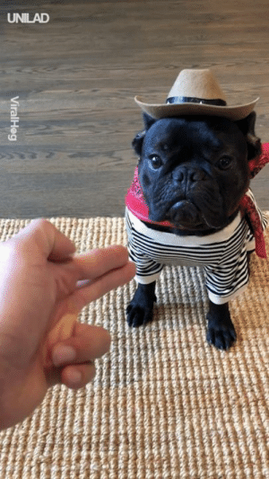 Dank, Cowboy, and 🤖: ViralHeg 'Our little cowboy will do anything for a treat..' 😍🤠