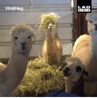 Dank, Bible, and World: ViralHog  LAD  BIBLE Alpacas are in a world of their own... 😂😂