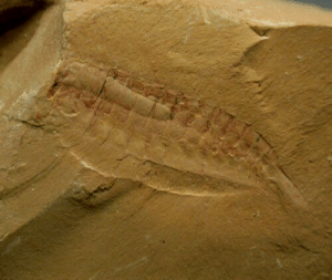 virtualfossilmuseum:  Image: Creative Commons Attribution-NonCommercial 4.0 Unported (CC BY-NC 4.0)Alalcomenaeus Great Appendage Cambrian Arthropod from Maotianshan ShalesPhylum Arthropoda, Subphylum Chelicerata, Class Megacheira, Family Alalcomeneidaeor, by some authors,Phylum Arthropoda, Class Dinocaridida, Order Radiodonta, Family OpabiniidaeGeological Time: Early Cambrian (~525 million years ago)Size: Fossil is 26 mm longFossil Site: Chengjiang Maotianshan Shales, Qiongzhusi Section, Yu'anshan Member, Heilinpu Formation, Maotianshan Hill, Yuxi, Chengjiang County, Yunnan Province, ChinaRecent research has placed this early arthropod with Subphylum Chelicerata along with spiders, scorpions, ticks, horseshoe crabs, and eurypterids. Alalcomenaeus had three eyes, with two on stalks, biramous legs, 11 segments, exoskeleton, and a telson like a paddle - learn more about this fossil and the Maotianshan Shales at the Virtual Fossil Museum.: virtualfossilmuseum:  Image: Creative Commons Attribution-NonCommercial 4.0 Unported (CC BY-NC 4.0)Alalcomenaeus Great Appendage Cambrian Arthropod from Maotianshan ShalesPhylum Arthropoda, Subphylum Chelicerata, Class Megacheira, Family Alalcomeneidaeor, by some authors,Phylum Arthropoda, Class Dinocaridida, Order Radiodonta, Family OpabiniidaeGeological Time: Early Cambrian (~525 million years ago)Size: Fossil is 26 mm longFossil Site: Chengjiang Maotianshan Shales, Qiongzhusi Section, Yu'anshan Member, Heilinpu Formation, Maotianshan Hill, Yuxi, Chengjiang County, Yunnan Province, ChinaRecent research has placed this early arthropod with Subphylum Chelicerata along with spiders, scorpions, ticks, horseshoe crabs, and eurypterids. Alalcomenaeus had three eyes, with two on stalks, biramous legs, 11 segments, exoskeleton, and a telson like a paddle - learn more about this fossil and the Maotianshan Shales at the Virtual Fossil Museum.
