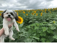 Today, Dog, and Sunflower: Visited a sunflower field with my dog