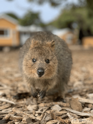 Happy, Today, and Rottnest Island: Visited Rottnest Island, WA today and took a photo of this happy chap.