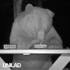 Dank, Bali, and Bear: viSNE  ciCEK BALI  UNILAD After destroying his bee hives every evening this beekeeper decided to put some use to this gigantic bear! 🍯🐻