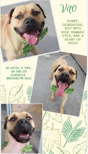 "A Dream, Beautiful, and Dogs: Vito  HUNKY  GORGEOUS  BOY WITH  KOHL RIMMED  EYES, AND A  HEART OF  GOLD  ID 65751, 5 YRS.,  63 LBS OF  CUDDLES  BROOKLYN ACC INTAKE DATE – 6/12/2019   He's so beautiful you would not be faulted for thinking he looks like a plush toy.  With his kohl rimmed eyes, his soft dark muzzle, and his caramel coat he is a delicious combination of beauty and sweetness.  But he's modest about his good looks, just a ""good scout"" as our dear old dads would say, a boy with a kind heart and a dream of a family who will love him and cherish him the way he would cherish them.  He's well mannered, playful and more than ready to join your perfect family for a summer of fun and for all his life to come.  How can you resist him?  We can't.  So hurry and message our page or email us at MustLoveDogsNYC@gmail.com for assistance fostering or adopting big, stunning, sweetheart, VITO.  VITO, ID# 65751, 5 yrs. old, 63.5 lbs., Unaltered Male Brooklyn ACC, Large Mixed Breed, Tan    Owner Surrender Reason:  Shelter Assessment Rating:  Medical Behavior Rating:  ***  TO FOSTER OR ADOPT  ***   If you would like to adopt a NYC ACC dog, and can get to the shelter in person to complete the adoption process, you can contact the shelter directly. We have provided the Brooklyn, Staten Island and Manhattan information below. Adoption hours at these facilities is Noon – 8:00 p.m. (6:30 on weekends)  If you CANNOT get to the shelter in person and you want to FOSTER OR ADOPT a NYC ACC Dog, you can PRIVATE MESSAGE our Must Love Dogs page for assistance. PLEASE NOTE: You MUST live in NY, NJ, PA, CT, RI, DE, MD, MA, NH, VT, ME or Northern VA. You will need to fill out applications with a New Hope Rescue Partner to foster or adopt a NYC ACC dog. Transport is available if you live within the prescribed range of states.  Shelter contact information: Phone number (212) 788-4000 Email adopt@nycacc.org  Shelter Addresses:  Brooklyn Shelter: 2336 Linden Boulevard Brooklyn, NY 11208  Manhattan Shelter: 326 East 110 St. New York, NY 10029  Staten Island Shelter: 3139 Veterans Road West Staten Island, NY 10309  *** NEW NYC ACC RATING SYSTEM ***  Level 1  Dogs with Level 1 determinations are suitable for the majority of homes. These dogs are not displaying concerning behaviors in shelter, and the owner surrender profile (where available) is positive.   Level 2   Dogs with Level 2 determinations will be suitable for adopters with some previous dog experience. They will have displayed behavior in the shelter (or have owner reported behavior) that requires some training, or is simply not suitable for an adopter with minimal experience.   Level 3  Dogs with Level 3 determinations will need to go to homes with experienced adopters, and the ACC strongly suggest that the adopter have prior experience with the challenges described and/or an understanding of the challenge and how to manage it safely in a home environment. In many cases, a trainer will be needed to manage and work on the behaviors safely in a home environment."