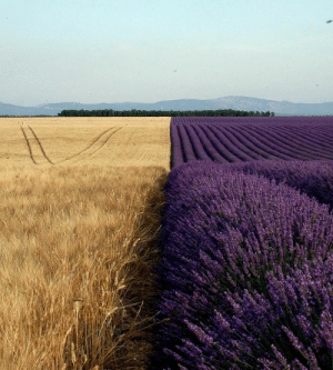 vivairi: verycoolpics: Very cool looking Field of Wheat next to Lavender   Southern Gothic vs. English Gothic : vivairi: verycoolpics: Very cool looking Field of Wheat next to Lavender   Southern Gothic vs. English Gothic