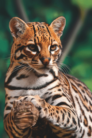 vividessentials:    An ocelot waits for incoming prey | vividessentialsVisit Vivid Essentials on Instagram!: vividessentials:    An ocelot waits for incoming prey | vividessentialsVisit Vivid Essentials on Instagram!