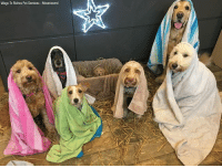 CUTE: A dog groomer in the UK recreated the nativity scene with six furry friends donning towels and blankets over their heads for robes — and a puppy lying in a manger.: Wags To Riches Pet Services Mountsorrel CUTE: A dog groomer in the UK recreated the nativity scene with six furry friends donning towels and blankets over their heads for robes — and a puppy lying in a manger.