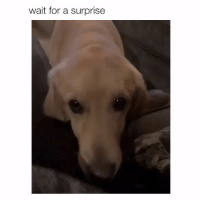Memes, 🤖, and For: wait for a surprise Wait for it... wait for it... 🙈😝😝🙈 • Repost @sexualising ・・・ labs pawsitivelyprecious dogsarefamily adoptfosterrescue furbabies dogsdogsdogsdogs ILoveDogs BePawsitive🐾 adoptdontshop paws dogshaveheartsofgold dogmom rescuedismyfavoritebreed dogsdogsdogs woofwoofwoof dogsaremyfavoritepeople
