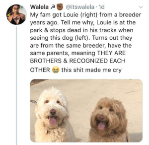positive-memes:  Dog siblings!: Walela @itswalela 1d  My fam got Louie (right) from a breeder  years ago. Tell me why, Louie is at the  park & stops dead in his tracks when  seeing this dog (left). Turns out they  are from the same breeder, have the  same parents, meaning THEY ARE  BROTHERS & RECOGNIZED EACH  OTHER  this shit made me cry positive-memes:  Dog siblings!