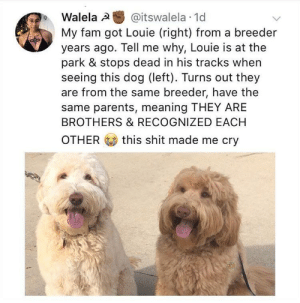 awesomacious:  A really cute family reunion:): Walela @itswalela 1d  My fam got Louie (right) from a breeder  years ago. Tell me why, Louie is at the  park & stops dead in his tracks when  seeing this dog (left). Turns out they  are from the same breeder, have the  same parents, meaning THEY ARE  BROTHERS & RECOGNIZED EACH  OTHER this shit made me cry awesomacious:  A really cute family reunion:)