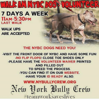 All Star, Dogs, and Love: WALk AN NYBC DOS VOLUNTeeR  7 DAYS A WEEK  11AM-5:30PM  LAST WALK  WALK UPS  ARE ACCEPTED  THE NYBC DOGS NEED YOU!  VISIT THE FRONT DOOR OF NYBC AND HAVE SOME FUN!  NO FLIP FLOPS! CLOSE TOE SHOES ONLY  PLEASE HAVE THE VOLUNTEER WAIVER PRINTED  AND FILLED OUT  TO SPEED THE PROCESS.  .YOU CAN FIND IT ON OUR WEBSITE  HAVE YOUR ID READY ALSO  WWW.NYBULLYCREW.ORG  How about volunteering to walk some awesome rescue dogs?? Our adoptables would love to go for a walk with you!! ➡️ Go to www.nybullycrew.org and print and complete the Volunteer Waiver Form to get started!!    We are revamping our volunteer program so during this transition and we would like to call upon our All Star volunteers, both regulars and newcomers, to help the dogs of NYBC!!➡️ From 11AM-5:30PM DAILY visit the front door of NYBC and meet with John.   **Walk ups are accepted but please have the Volunteer Waiver printed and filled out to speed up the process. You can find it on our website. Have your Photo ID ready also.  We are at: 1457 Montauk Highway East Patchogue, NY 11772 **Non-skid shoes only, no flip flops‼️ ***Please disregard any hours stated on our website and phone message. We are currently reformatting so please excuse us.  #nybcvolunteers #nybcdogs  #nybc #newyorkbullycrew  #speakingfortheoneswhocant #teamworksaveslives #volunteer #giveback #skipthegymwalkadog