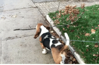 "Memes, 🤖, and Sticks: ""Walk softly and carry a big stick"" - dean the basset hound literallyabranch . @deanthebasset"