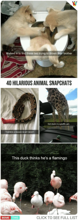 Click, Funny, and Animal: Walked in to find these two trying to drown their brother  40 HILARIOUS ANIMAL SNAPCHATS  Got stuck in a giraffic jam  THERES A SNAKE IN MY BOOT  This duck thinks he's a flamingo  CLICK TO SEE FULL LIST  BEME  THIS 40 Hilarious Animal Snapchats #funny #funnysnapchat #animalsnapchat #funnyanimals #adorablepets #humor #animalsandpets #bemethis