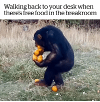 Africa, Food, and Desk: Walking back to your desk when  there's free food in the breakroom This is so me! 😂  Credit: The Jane Goodall Institute South Africa