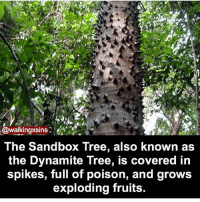 Memes, Tree, and 🤖: @walkingxsins  The Sandbox Tree, also known as  the Dynamite Tree, is covered in  spikes, full of poison, and grows  exploding fruits. How's everyone's day?