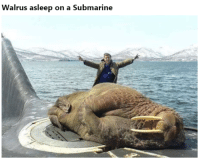 22 Funniest Pics For Your Saturday 4 – 8 – 2018: Walrus asleep on a Submarine 22 Funniest Pics For Your Saturday 4 – 8 – 2018