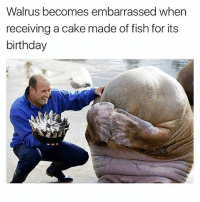 Adorable: Walrus becomes embarrassed when  receiving a cake made of fish for its  birthday Adorable