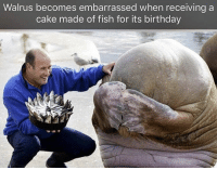 <p>Nervous boy</p>: Walrus becomes embarrassed when receiving a  cake made of fish for its birthday <p>Nervous boy</p>