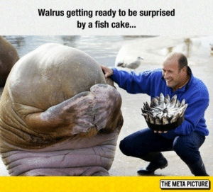 Tumblr, Blog, and Cake: Walrus getting ready to be surprised  by a fish cake...  THE META PICTURE lolzandtrollz:  Getting Ready To Be Surprised