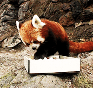 Internet, Target, and Too Much: waltron:  everkings:  courageousbox:  a red panda eating sushi.  This is the best thing I have ever seen on the internet.  that lil wince too much wasabi waah