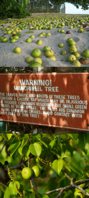 "America, Apple, and Books: WARNING!  MANCHINEEL TREE  THE LEAVES, BARK AND FRUITS OF THESE TREES  CONTAIN A CAUSTIC SAP WHICH MAY BE INJURIOUS  IE TOUCHED. COLUMBUS DESCRIBED THE SMALL GREEN  FRIATS AS DENII APPLES: THE TREES ARE COMMON  ALONG CARIBBEAN SHORES. AVOID CONTACT WITH  ANY PART OF THIS TREE! sixpenceee:  Throughout Caribbean, Central America, the northern edges of South America, and even in south Florida, there can be found a pleasant-looking beachy sort of tree, often laden with small greenish-yellow fruits that look not unlike apples.This is the manchineel, known sometimes as the beach apple, or more accurately in Spanish-speaking countries as la manzanilla de la muerte, which translates to ""the little apple of death,"" or as arbol de la muerte, ""tree of death.""""Warning: all parts of manchineel are extremely poisonous. The content in this document is strictly informational. Interaction with and ingestion of any part of this tree may be lethal,"" write Michael G. Andreu and Melissa H. Friedman of the University of Florida in a brief guide to the tree. This is not an exaggeration. The fruits, though described as sweet and tasty, are extraordinarily toxic. Fatalities are not known in modern literature, though it's certainly possible that people have died from eating the fruit of the manchineel. ""Shipwrecked sailors have been reported to have eaten manchineel fruits and, rather than dying a violent death, they had inflammations and blistering around the mouth. Other people have been diagnosed with severe stomach and intestinal issues,"" says Roger Hammer, a naturalist and botanist who has written many books about the flora of Florida. (Source)"