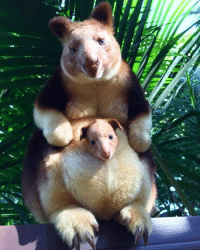 Memes, Australia, and Beastly: was Guys. GUYS. This is an animal. That exists. On this planet. This endangered and majestic cute-beast is called the Goodfellow's tree-kangaroo and it's native to Papua New Guinea. The first of its species born in captivity in 36 years, Mian popped his head out of his mama's pouch at the Perth Zoo in Australia and caused quite a stir amongst zoo workers. His genetic profile and health makes him an ideal candidate for future breeding and continuation of the species. Not only that, but Mian will straight up kill it whenever they make another Muppet movie. Photo cred: Perth Zoo