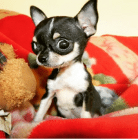 """Chihuahua, Memes, and 🤖: """"Wassup?"""" Immerse yourself in Cute Chihuahuas at FamousChihuahua.com #cutepuppy #cutedog #cutedogs ##cutechihuahua #chihuahuapuppy #chihuahua #chihuahuas #socute #lovedogs #teacupchihuahua #teacupchihuahuas #applehead #appleheadchihuahua #deerheadchihuahua #chihuahualove #adorablepuppy #famouschihuahua"""
