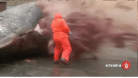 WSHHRewind: Animal Clip Of The Week: Washed Up Sperm Whale Explodes After Being Cut Open 😳@worldstar WSHH: WATCH NOW ON WSHHRewind: Animal Clip Of The Week: Washed Up Sperm Whale Explodes After Being Cut Open 😳@worldstar WSHH