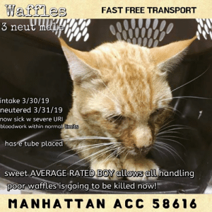 "Cats, Click, and Drinking: Watfle  3 neut mai  FAST FREE TRANSPORT  intake 3/30/19  neutered 3/31/19  now sick w severe URI  bloodwork within normal limits  limits  has e tube placed  sweet AVERAGE RATEDBOY allows all handling  poor waffles is going to be killed now!  MANHATTAN ACC 58616 MANHATTAN ACC ADOPTABLE   *WATCH MY VIDEO ~ SAVE MY LIFE* I'M IMPROVING AND I WANT TO LIVE.  PLEASE SOMEONEA GIVE ME A HOME!  https://youtu.be/If46S-GRrAU  INTAKE DATE 3/30/19  Waffles 58616    3Y Orange Tabby N DSH 8lbs.  Intake: Stray 3/30/19  Medical:  3-Apr-2019  Progress Exam  Vet Notes: 12:56 PM  SO  Cat with feeding tube and anorexia for several days. Has severe URI, suspect calicivirus. P ate tuna this morning; initially very reluctant to use mouth (nibbling small amounts) but quickly began grabbing chunks of tuna. Ate the 1/4 can offered.   EN -- mild mucoid ocular discharge w/ crusting OU; nasal discharge and audible congestion  Oral -- lingal ulcerations present   A  URI, severe  lingual ulcerations  anorexia -- resolving   P  continue on medicated feedings via e-tube  decreased feedings from 30ml to 15ml to allow P to have appetite and eat on his own, if desired.  continue to offer food daily and monitor P appetite and ability to eat on his own  nebulization q24h x 4 days   2-Apr-2019  Progress Exam  Vet Notes: 9:54 AM  SO  Cat with severe URI, suspect calicivirus. P has lingual ulcers and has a feeding tube placed. P is not eating on own, though is interested (sniffing food).   EN -- mild epiphora with crusting OU; slight crusting along the nares.  Oral -- .lingal ulcerations present; ptyalism. P is teeth chattering   A  URI, severe  lingual ulcerations   P  continue on medicated feedings via e-tube  continue to offer food daily  mirataz transdermal 1.5inch q24h x 4 days magic mouthwash 0.25ml PO q12h x 5 days  simbadol 0.55ml SQ q24h x 5 days   1-Apr-2019  Progress Exam  Vet Notes: 1:02 PM  HX: marked URI with lengual ulcers; anorexia; feeding tube placed 3/31; neutered also  QAR h pink 1 sec 100.5 eent- e tube in place; mild nasal dc pln- wnl hl- 200hr reg nm ss fp referred upper airway sounds abd- relaaxed ug- mc msi/neuro- nsf  A) severe URI P) CWSC  31-Mar-2019  Spay/Neuter Summary  L V T Notes: 3:03 PM  Pre Medication/Induction:  Telazol 10mg/mL injectable, 0.2 mL IM, once at 8:55 am  Anesthesia Notes: Pet did not require intubation or IV catheter for procedure.   Simbadol 1.8mg/mL injectable, 0.52 mL SQ, once, for post-operative pain relief, given post-operatively.   Recovery Status: Uneventful  Anesthetist/Surgical Monitor (P#'s): _1390_____/___1657___  Vet Notes: 12:25 PM  [Surgery Template - Cat Neuter]  Was this cat a Cryptorchid? If so, describe surgical process:   Routine Feline Neuter Self tie of spermatic cord  tattoo placed right inguinal area   Surgeon: 1657  Additional Note:   31-Mar-2019  Tech Exam  L V T Notes: 12:09 PM  fed 20 ml a/d food thru feeding tube. flushed with 10 ml water.  31-Mar-2019  Progress Exam Blood Work Interpretation  Vet Notes: 12:08 PM  HX:  QAR H-DH Pink  eent- ulcerations on tongue; mild ocaulor and nasal dc pln- wnl hl- 200hr reg referred upper airway sounds abd- relaxed ug- MI w/ 2 down msi/neuro- nsf  A) severe URI with lingual ulcers P) feeding tube plaement: -telazol- 0.2ml IM -left side of neck sx prep -12 red rubber French tube placed into the esophagus to about the 7th intercostal space - secured with 2 Chinese interlocking knots  - soft bandage placed   The cat should be fed on the following schedule: Use a/d  Day 1: Give 1/6 of a can slowly over 15-20 minutes THREE times daily Day 2 and 3: Give 1/4 of a can slowly over 15-20 minutes THREE times daily Day 4 and thereafter: Give 1/2 of a can slowly over 15-20 minutes THREE times daily.  Please give her 30mL of water through the tube slowly four times daily separate from or associated with her feedings. Important: A cat's stomach can hold about 30 ml of food and/or liquid at any one time. Liquid and food move quickly through a cat's stomach but never put in more than 30 ml at one push of the feeding syringe. If you want to give water close to feeding time, please wait about 30 minutes. In other words, give the syringe of food and wait 30 minutes and then give 30ml of water.   BLOOD RESULTS: NSF  31-Mar-2019  Tech Exam  L V T Notes: 11:09 AM  As per Dr. 1657, sedated exam to place a feeding tube. Sedation: 0.2 mls of Telazol IM at 8:55 am - no reversal.  31-Mar-2019  Tech Exam  L V T Notes: 10:53 AM  with new esop feeding tube gave 30 ml of water per DVM 1657 and will feed A/D shortly  30-Mar-2019  Tech Exam  L V T Notes: 11:00 PM  Per Dr. 1493, performed CBC/Chem  30-Mar-2019  Tech Exam  L V T Notes: 3:55 PM  per DVM 1493- cleaned face, applied gentamycin drops to eyes, placed 24g IVC in right cephalic vein, LRS @ 15ml/hr, placed in med iso, 3ml unasyn IV given observed eating and drinking in cage  30-Mar-2019  Spay-Neuter Waiver Documentation  Vet Notes: 10:11 AM  Your newly adopted animal is in treatment for an upper respiratory illness. The veterinarian is temporarily waiving this animal from the spay/neuter requirements of the City of NY until such time as the illness has resolved and the pet has sufficiently recovered. At that time, this animal must come into compliance with the spay/neuter requirements.  30-Mar-2019  DVM Intake  L V T Notes: 1:32 PM  Offered tuna which he showed interest in and nibbled a little on it but appeared to show difficulty eating or swallowing the tuna.  Vet Notes: 3:17 PM  DVM Intake Exam Estimated age: 3 Microchip noted on Intake? n Microchip Number (If Applicable): n  History : stray Subjective: Marked dehydration; severe URI Observed Behavior : resisted restraint - tried to flee - was not agressive Evidence of Cruelty seen -n Evidence of Trauma seen -n  Objective T = 103.7 P = 180 R = 30 BCS = 3.5/9 EENT: OU blepharospasm with mucoid ocular discharge, marked purlent discharge from the nose Oral Exam: lingual ulceration  PLN: No enlargements noted H/L: NSR, NMA, CRT < 2, Lungs clear, eupnic ABD: Non painful, no masses palpated U/G: Inact male - two descended testicles  MSI: Ambulatory x 4, soft tissue inflammation of the left hind paw - most pronouced on the 3rd digitskin free of parasites, no masses noted, healthy hair coat CNS: Mentation appropriate - no signs of neurologic abnormalities Rectal: externally normal  Assessment:  1. Severe URI - suspect calicivirus with a secondary bacterial infection (mucoid nasal and oral discharge) 2. Lethargy; dehydration 3. Conjunctivitis  4. Lame left hind - grade 2/5 - soft tissue swelling of the left paw - Ddx - vasculitis secondary to calici-virus versus a soft tissue injury vs other   Place in medical isolation IVF fluids @ 15 ml/hr Unasyn 30mg/kg IV TID for 48 hours than switch to oral doxycycline at 10mg/kg SID for 10 days  Gentamycin eye drop BID for 7 days  Cerenia 0.35 ml SQ  Mirtazapine Transdermal SID for 5 days   SURGERY: Temp waiver due to condition        Behavior:  Animal Behavior Saved At: 2-Apr-2019 17:13:39.000  Animal ID:  58616  Animal Name: Waffles  Age: 3 Years (approx)  Tag Number:  Breed: Domestic Short Hair  Gender: Male  Spayed / Neutered: Yes  Handler: 990828  Observer:  Behavior Assessment Date:  4/2/2019  Retest Date:  Retest Reason:  Next Test Date:  KNOWN HISTORY:  Waffles was brought in as a stray, so there is no information on his behavior history or tendencies in a home environment. Waffles is described as shy, mellow and independent by his finder. He allowed to be picked up, petted and placed in a carrier during intake.   MEDICAL BEHAVIOR:  3/30/19 Resisted restraint - tried to flee - was not aggressive.  Cage Condition:  Cage is slightly re-arranged  Reaction to assessor:  Waffles was lying down by the back, looking out with almond-shaped eyes.  Reaction when softly spoken to:  Waffles makes soft eye contact, and then averts his gaze.   Reaction to cage door opening:  Waffles remains calm and relaxed.  Reaction to touch:  Waffles sniffs the assessor's hand and meows softly. He lowers his head in anticipation of petting, but allows gentle strokes on his head and body. He gets up and approaches the front, and then lies down next to the assessor and leans on them.   Reaction to being picked up:  Waffles remains calm and allows handling. After a moment of being held, he wiggles to be placed back down.   ACTIVITY LEVEL:  Moderate  VOCAL:  Somewhat chatty  CHARACTER TYPE:  Social     Calm     Sweet  BEHAVIOR DETERMINATION:  Average  Behavior Asilomar  H - Healthy  BEHAVIOR SUMMARY:  Please note that this cat is being treated for a medical condition at the time of evaluation. It is difficult to determine at this time how the medical condition may be affecting the behavior. Waffles interacts with the observer, appreciates attention, is easy to handle and tolerates all petting. This cat is showing behavior appropriate for new or experienced cat parents.    PLEASE CONSIDER SAVING THE LIFE of a NYC ACC Death Row cat with your immediate offer to adopt.   TO GET STARTED IMMEDIATELY SEND A PRIVATE MESSAGE TO THIS PAGE (click ""Send Message"" from our home page). We will respond asap.  You will complete an app with a registered 501(c)3 New Hope Rescue Partner,  approved to pull cats from the NYC ACC (shelter). We will immediately alert the rescue of your incoming app.  Adoption fees are currently WAIVED, there is fast, free transport.    ABOUT TRANSPORT: With your approved app there is FAST, FREE TRANSPORT to your home up to a 4 hr. radius outside of NYC, including all or part of NY, NJ, CT, PA, NH, VT, RI, MA, MD, DE & DC (see transport map provided). More distant adopters can meet the transport van, (i.e. a NC or VA adopter could meet in MD or DC, or an OH adopter could meet  in PA).    ABOUT KITTENS: Kittens under 8 wks old & 2 lbs in weight are NOT PUBLICLY ADOPTABLE due to their fragility.  They can only be pulled by a rescue for specially-trained pre-approved kitten foster homes in NY, NJ & CT.  For more info PM us.  Kittens over 8 weeks and 2lbs should preferably go in PAIRS.   ABOUT PLEDGES: Pledges are directly paid to the 501(c)3 NEW HOPE RESCUE PARTNER that pulls the the cat. Pledges do not guarantee a cat's life will be spared but may help a rescue org decide if they can afford to pull the cat and cover his/her vet expenses.  ABOUT US : MLC is 100% volunteer run page, we can't pull cats, we are not a rescue, not affiliated with the nyc acc."