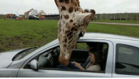 Head, Wcgw, and Car: WCGW - Let's close the car window on the giraffe's head