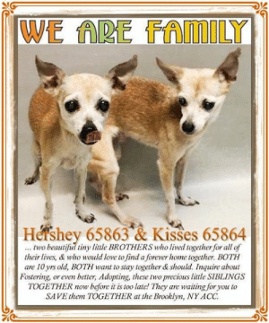 Animals, Beautiful, and Chihuahua: WE ARE FAMILY  Hershey 65863 & Kisses 65864  ... two beautiful tiny little BROTHERS who lived together for all of  their lives, & who would love to find a forever home together. BOTH  are 10 yrs old, BOTH want to stay together & should. Inquire about  Fostering, or even better, Adopting, these two precious little SIBLINGS  TOGETHER now before it is too late! They  SAVE them TOGETHER at the Brooklyn, NY ACC  waiting for you to  are **FOSTER or ADOPTER NEEDED ASAP** *** We are Family *** Hershey 65863 & Kisses 65864 ... two beautiful tiny little BROTHERS who lived together for all of their lives, & who would love to find a forever home together. BOTH are 10 yrs old, BOTH want to stay together & should. Inquire about Fostering, or even better, Adopting, these two precious little SIBLINGS TOGETHER now before it is too late! They are waiting for you to SAVE them TOGETHER at the Brooklyn, NY ACC.  ✔Pledge✔Tag✔Share✔Foster✔Adopt✔Save their lives!  Hershey 65863 & Kisses 65864 Age 10 yrs (approx.) - ? lbs Our health has been checked.  Our vaccinations are up to date. Our worming is up to date.  We have been micro-chipped.   We are waiting for you at the Brooklyn, NY ACC. Please, Please, Please, save us TOGETHER!  Found Location  Greene Ave Cuyler Gore Park & Fulton Street BROOKLYN, 11238 Date Found 6/13/2019  **************************************** *** TO FOSTER OR ADOPT ***   If you would like to adopt a NYC ACC dog, and can get to the shelter in person to complete the adoption process, you can contact the shelter directly. We have provided the Brooklyn, Staten Island and Manhattan information below. Adoption hours at these facilities is Noon – 8:00 p.m. (6:30 on weekends)  If you CANNOT get to the shelter in person and you want to FOSTER OR ADOPT a NYC ACC Dog, you can PRIVATE MESSAGE our Must Love Dogs - Saving NYC Dogs page for assistance. PLEASE NOTE: You MUST live in NY, NJ, PA, CT, RI, DE, MD, MA, NH, VT, ME or Northern VA. You will need to fill out applications with a New Hope Rescue Partner to foster or adopt a NYC ACC dog. Transport is available if you live within the prescribed range of states.  Shelter contact information: Phone number (212) 788-4000 Email adopt@nycacc.org  Shelter Addresses: Brooklyn Shelter: 2336 Linden Boulevard Brooklyn, NY 11208 Manhattan Shelter: 326 East 110 St. New York, NY 10029 Staten Island Shelter: 3139 Veterans Road West Staten Island, NY 10309 ************************************** ... NOTE:  *** WE HAVE NO OTHER INFORMATION THAN WHAT IS LISTED WITH THIS FLYER *** ... RE: ACC site Just because a dog is not on the ACC site does NOT necessarily mean safe. There are many reasons for this like a hold or an eval has not been conducted yet or the dog is rescue-only... the list goes on... Please, do share & apply to foster/adopt these pups as well until their thread is updated with their most current status. TY! ****************************************** About Must Love Dogs - Saving NYC Dogs: We are a group of advocates (NOT a shelter NOR a rescue group) dedicated to finding loving homes for NYC dogs in desperate need. ALL the dogs on our site need Rescue, Fosters, or Adopters & that ASAP as they are in NYC high-kill shelters. If you cannot foster or adopt, please share them far & wide. Thank you for caring!! <3 ****************************************** RESCUES: * Indicates New Hope Rescue partner is accepting applications for fosters and/or adopters. http://www.nycacc.org/get-involved/new-hope/nhpartners ****************************************** https://www.nycacc.org/adopt/hershey-65863 ++++ ++++ https://nycaccpets.shelterbuddy.com/animal/animalDetails.asp?task=search&s=found&animalType=3%2C16&datelostfoundmonth=9&datelostfoundday=5&datelostfoundyear=2017&tpage=1&submitbtn=Find+Animals&searchType=2&animalid=99501  https://www.nycacc.org/adopt/kisses-65864 ++++ ++++ https://nycaccpets.shelterbuddy.com/animal/animalDetails.asp?task=search&s=found&animalType=3%2C16&datelostfoundmonth=9&datelostfoundday=5&datelostfoundyear=2017&tpage=1&submitbtn=Find+Animals&searchType=2&animalid=99502 ++++ Beamer Maximillian Michele St Laurent Caro Hocker Carolin Hocker Little Star Chihuahua Rescue Beastly Rescue, Inc.