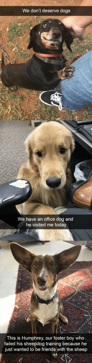 babyanimalgifs:  Cute dog snapsvia @animalsnaps: We don't deserve dogs   We have an office dog and  he visited me today   This is Humphrey, our foster boy who  failed his sheepdog training because he  just wanted to be friends with the sheep babyanimalgifs:  Cute dog snapsvia @animalsnaps