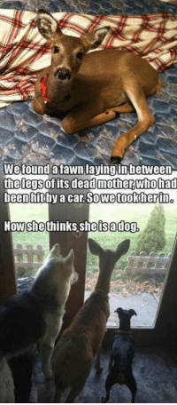 Lay's, Memes, and 🤖: We found a fawn laying in between  the legsof its deadmotherwho had  nhit by a car. So we took herino  she thinks she sa dog,