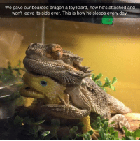 Is he a top or a bottom?: We gave our bearded dragon a toy lizard, now he's attached and  won't leave its side ever. This is how he sleeps every day Is he a top or a bottom?